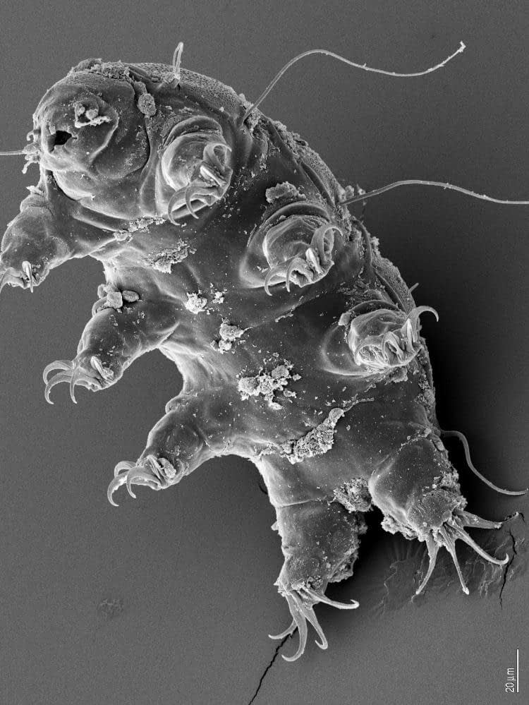 465923main_water_bear_tardigrade